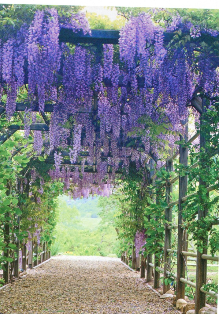 Wisteria is beautiful. Not too cold to grow here?